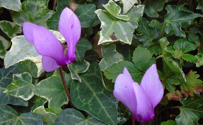 cyclamen-purpurascens400-1471978638.jpg