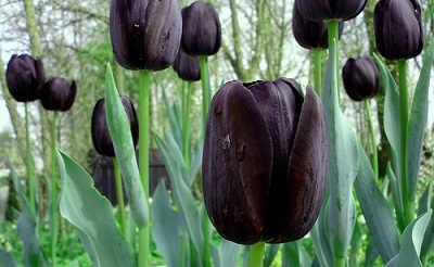 holland-koncert-tulipanok400-1398414546.jpg