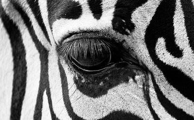 zebra400-1440071675.jpg