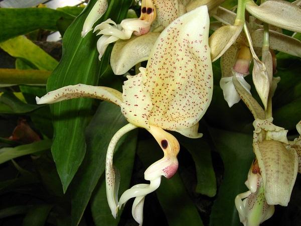 stanhopea-occulata600-1480450591.jpg
